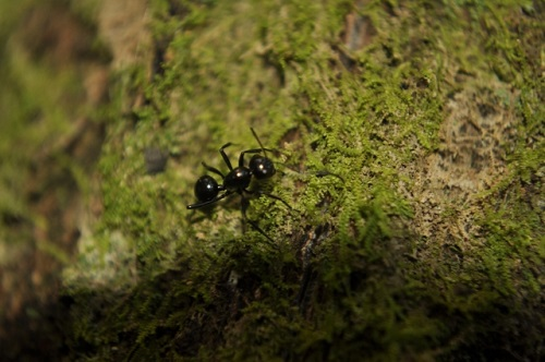 蟻 日本 最大