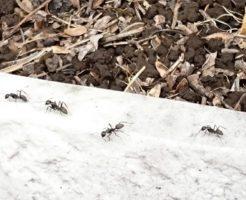 蟻 アリグモ 違い