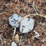 女王蟻の捕獲の方法について