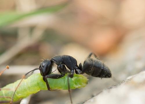 蟻 餌 見つけ方 運び方