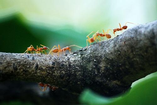 火蟻 特徴 大きさ