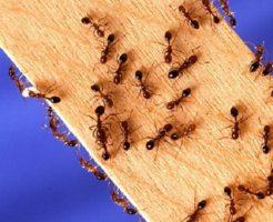 火蟻 対策 日本