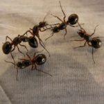蟻が卵を運ぶ理由は何?どうやって運ぶの?