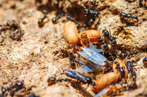 羽アリ 大量発生 時期 梅雨
