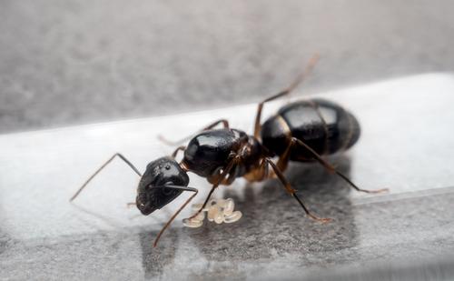 蟻 結婚飛行 時期