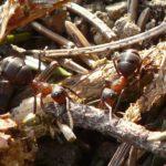 アリの大きい種類や小さい種類の紹介