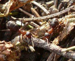 アリ 種類 小さい 大きい
