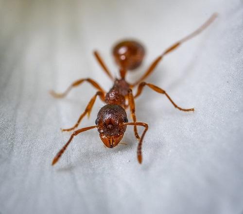 アリ 種類 茶色
