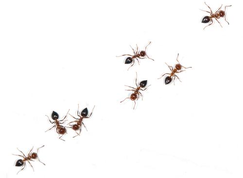 蟻 孵化 蛹 期間