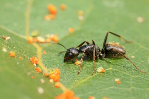 アリ 種類 見分け方