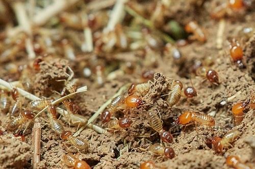 蟻 シロアリ 違い