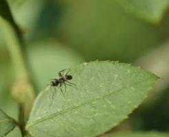 蟻 餌 食べない