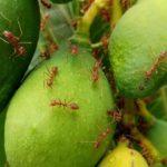 ヒアリの対策に殺虫剤は効果ある!?