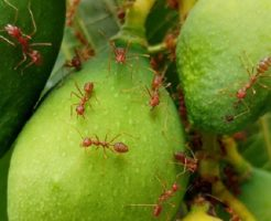火蟻 対策 殺虫剤