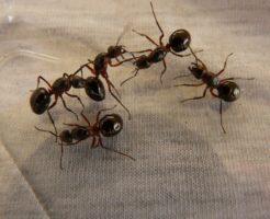 蟻 卵 運ぶ