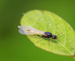 羽アリ 蚊取り線香 効果