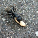クロオオアリの飼育に必要なものについて