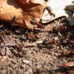 蟻が怪我した仲間を巣まで運ぶのはなぜ!?