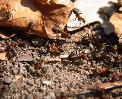 蟻 仲間 運ぶ